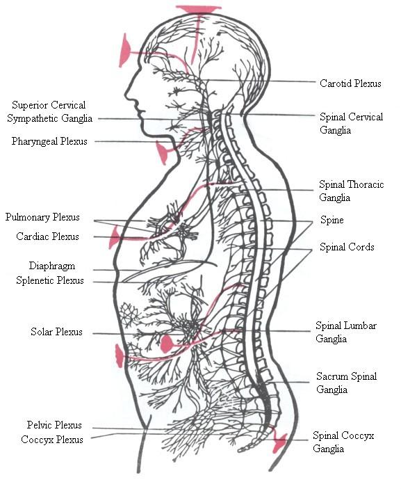 nerve-plexuses.jpg
