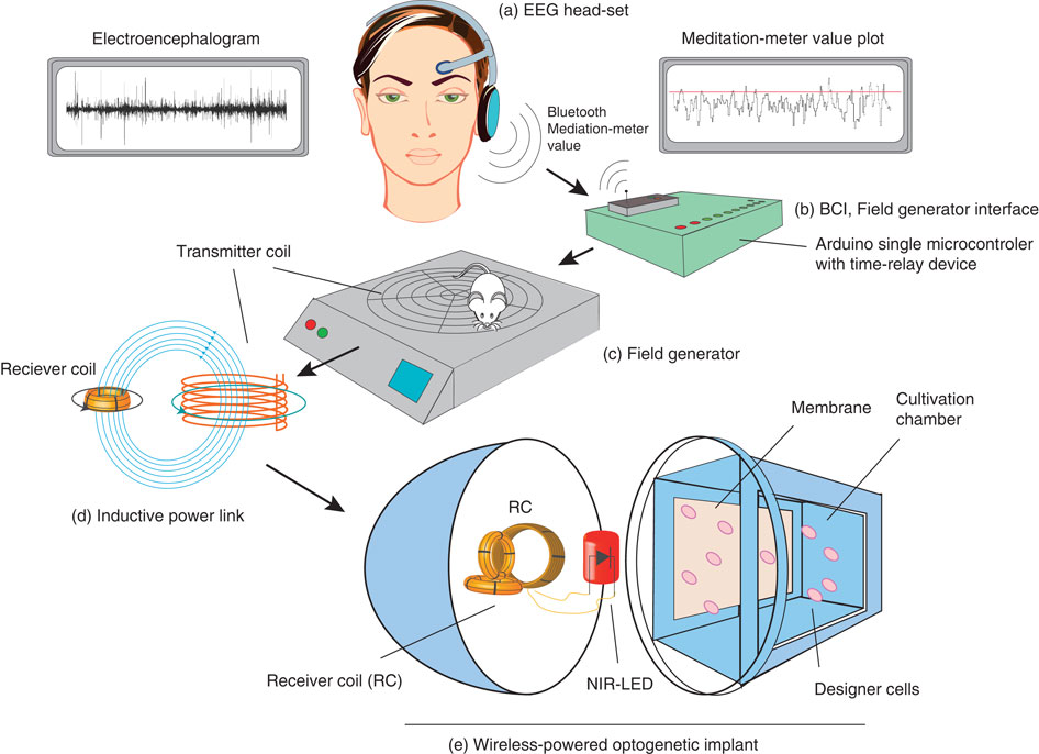 Schematic representation of mind-controlled transgene expression (After M. Folcher et al, 2014)